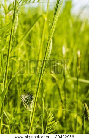 Common Butterfly Sitting On The Grass.