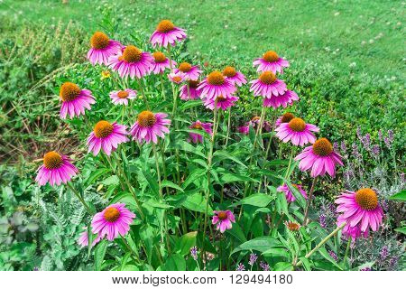 Echinacea purpurea (purple coneflower or the eastern) flowers in bloom.