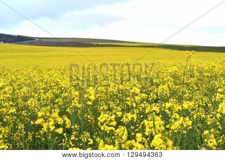 Yellow Canola Field In Harvesting Time