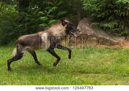 Black Phase Grey Wolf (Canis lupus) Jumps Forward - captive animal
