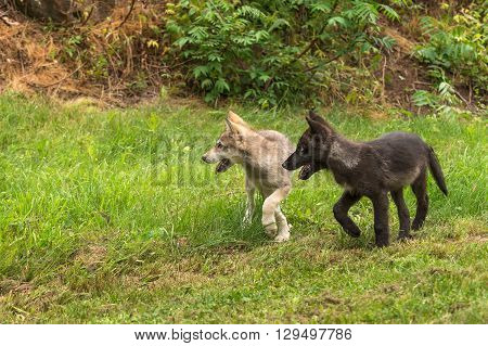 Grey Wolf Pups (Canis lupus) Look Left - captive animals