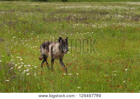 Black Phase Grey Wolf (Canis lupus) Trots Through Field - captive animal