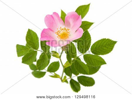 , briar wild rose isolated on white background