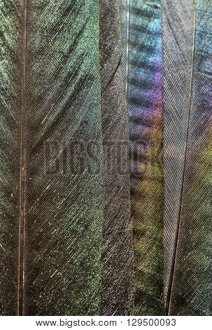 Close up of iridescent european magpie feathers