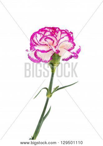 carnation flower isolated on white  celebratory, background