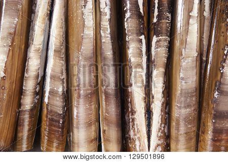 Razor fish shells  abstract backround close crop