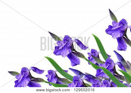 spring flowers iris isolated on white background. beautiful flowers