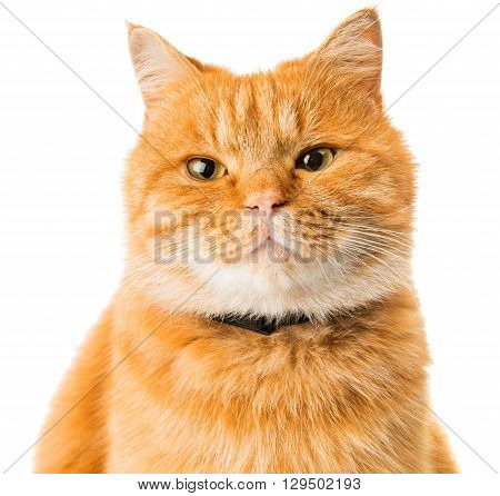 ginger cat isolated on white background, looking, anticipation