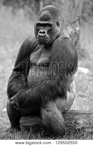 Isolated Western Lowland gorilla in black and white