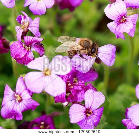 Purple flour petal flower with a honey bee collecting pollen