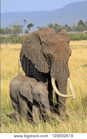 Matriarch elephant and her calf in the masai mara