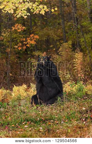 Adult Female Black Bear (Ursus americanus) Branch Mouthful - captive animal