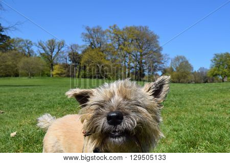 funny dog low angled rural woodland background view with cute cairn terrier
