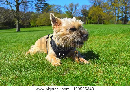 cute dog low angled rural woodland background view, cairn terrier