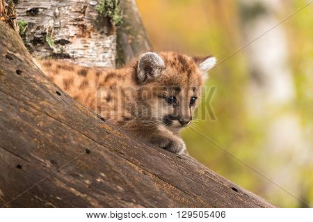 Female Cougar Kitten (Puma concolor) in Tree - captive animal