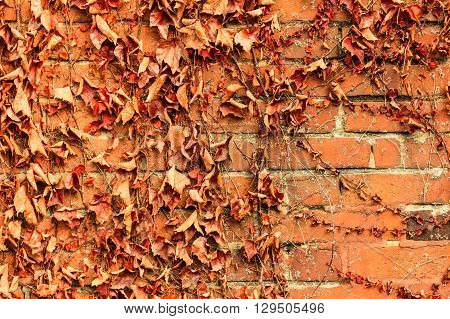 Red brick wall background with dry withered ivy leaves plants