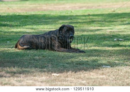 Large Mastiff dog resting with ball in mouth.