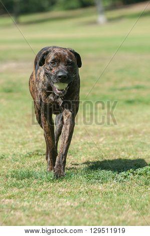 Large Mastiff dog walking slowly with ball
