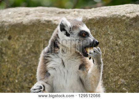 a lemurs take their meals in the sunshine