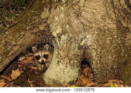 A Baby Raccoon hiding under a tree in the roots.