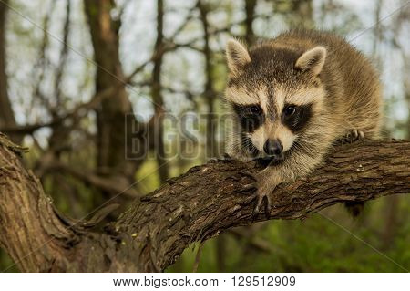 A baby raccoon climbing a vine in the woods.