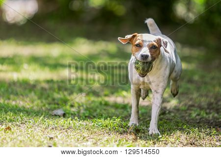 Purebred Jack Russell Terrier Female Dog Running Towards The Camera With A Tennis Ball With A Tennis Ball In Her Mouth