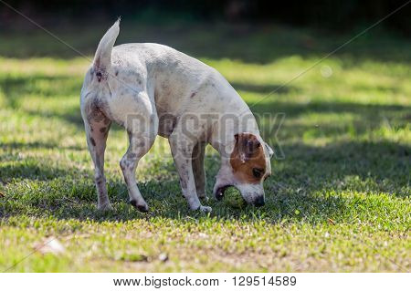 Dog Breed Jack Russell Terrier Female Dog Playing In The Park With Her Tennis Ball
