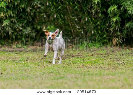 Parson Russell Terrier Female Dog Running With His Favorite Toy
