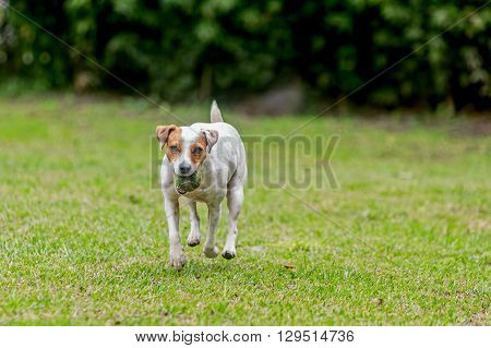 Jack Russell Terrier Purebred Dog Runs, Jumps And Plays With His Favorite Toy