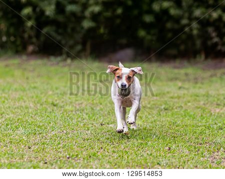 Purebred Jack Russell Terrier Female Dog Running Outdoors With A Tennis Ball In Her Mouth