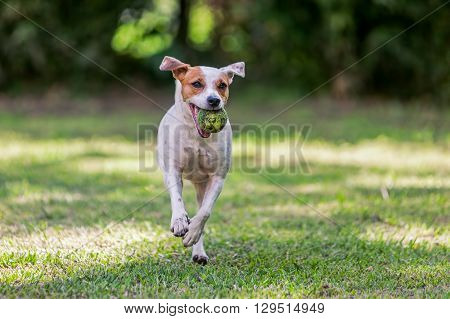 Playful Jack Russell Terrier Dog Playing In The Park With A Tennis Ball