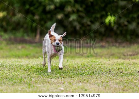 Jack Russell Terrier Running In The Park With His Favorite Toy