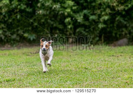 Jack Russell Terrier Purebred Dog Chasing His Toy At Full Speed