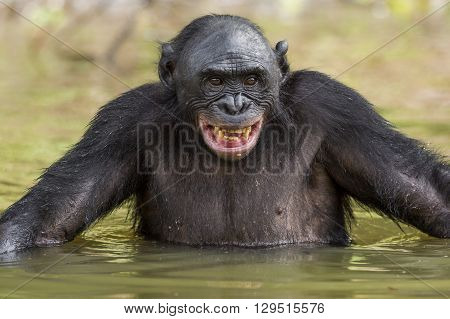 The Chimpanzee Bonobo Bathes With Pleasure And Smiles. The Bonobo ( Pan Paniscus)