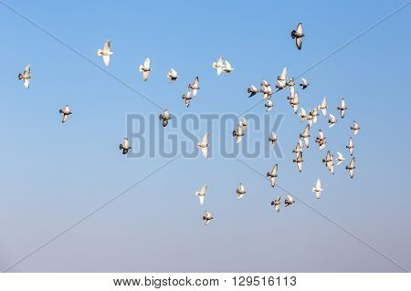 Flog of pigeons in front of blue sky with their wings facing the camera