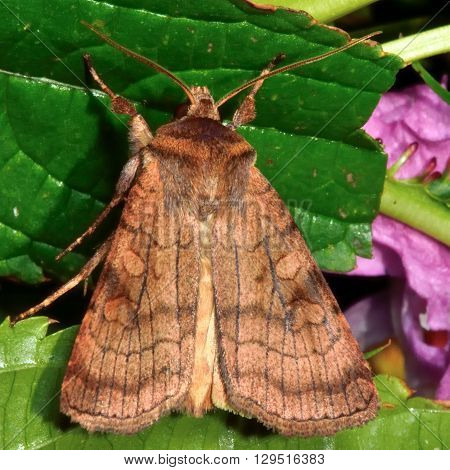 Six-striped rustic moth (Xestia sexstrigata). British insect in the family Noctuidae the largest British family moths in the order Lepidoptera