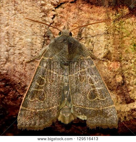 The olive moth (Ipimorpha subtusa). British insect in the family Noctuidae the largest British family moths in the order Lepidoptera
