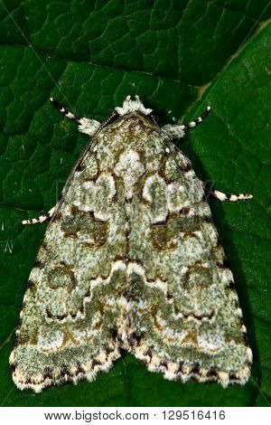 Marbled green moth (Cryphia muralis). British insect in the family Noctuidae the largest British family moths in the order Lepidoptera