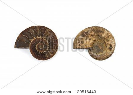 nautilus ammonite fossil shell , isolated background