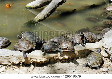 Lots of turtles in the pool at the zoo. Philippines.