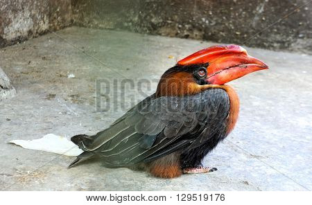 Hornbill . Bucerotidae. Bird lives in the tropical forests . Philippines.