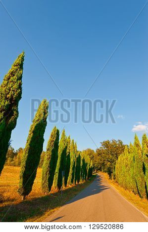 Asphalt Road Lined with Cypresses between the Plowed Fields in Italy