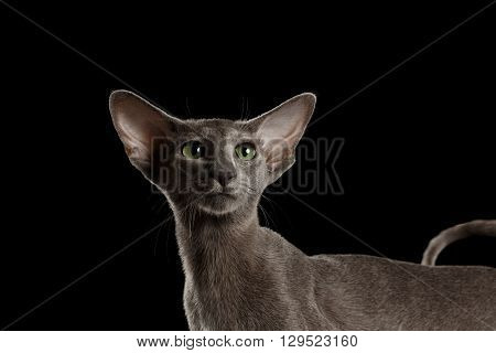 Closeup Portrait of Gray Oriental Cat With Big Ears and Green eyes Looking up Black Isolated Background