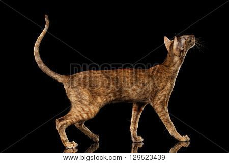 Brown Oriental Cat with Big Ears Standing and Looking up Black Isolated Background