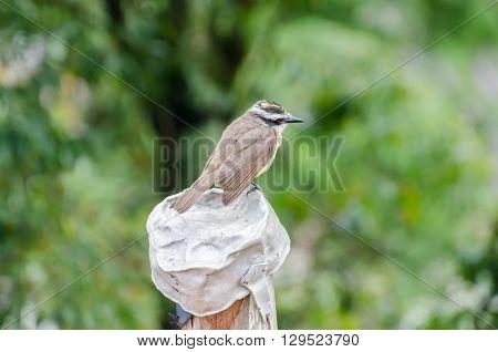 Yellow Bird, Known As Bem-te-vi, Just Resting