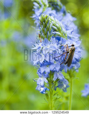 Mosquito on blue flower, mosquito is carrier of dengue fever in tropical countries