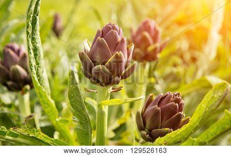 Artichoke plant with purple blossom