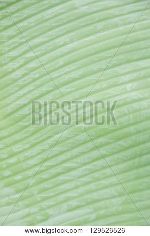 fresh green banana leaves texture for background