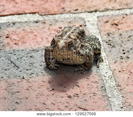 Warty Eastern American Toad on Brick