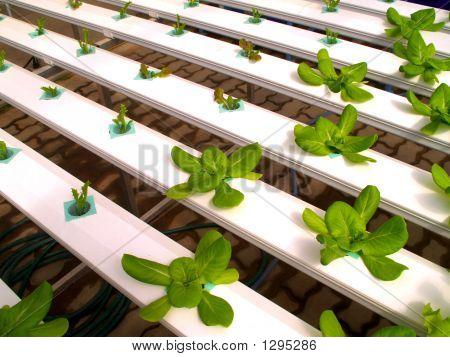 Vegetable Hydroponic
